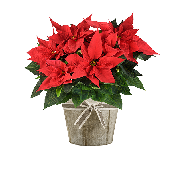 Holiday Plants Delivery or Pickup