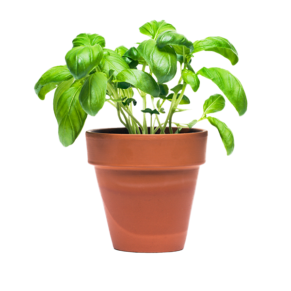 Plants for Living Potted Herbs Delivery or Pickup